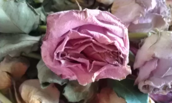 - som meg, en avblomstret rose -