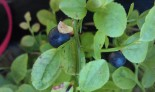 Blåbærtur med pus i bånd