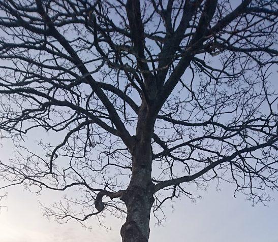 Tykk stamme, skjøre skudd - overlever vinteren?